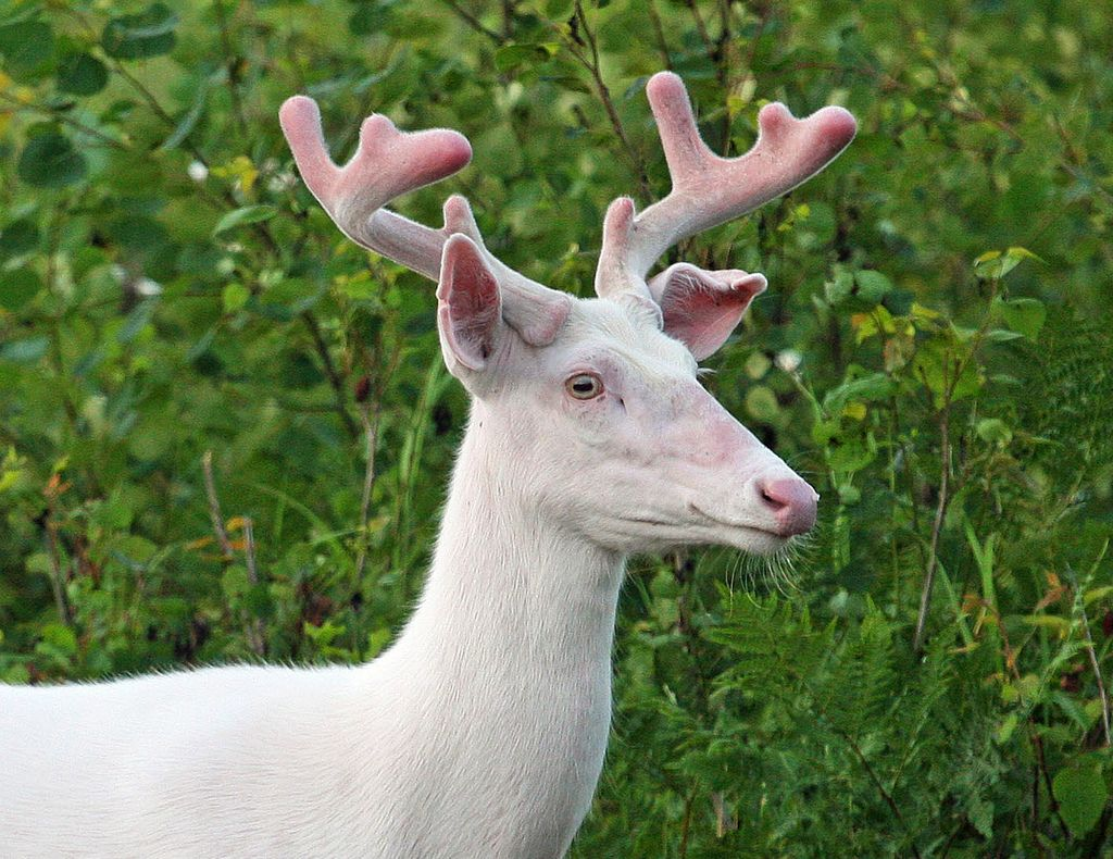 Albino Whitetail Buck Broken Ear Albino Deer Animals Albino Animals