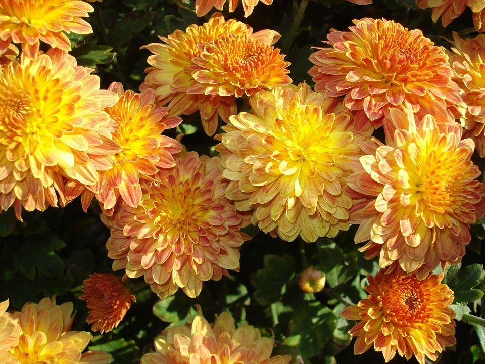 Free Image On Pixabay Mums Chrysanthemum Fall Flowers Plants Plant Care Chrysanthemum