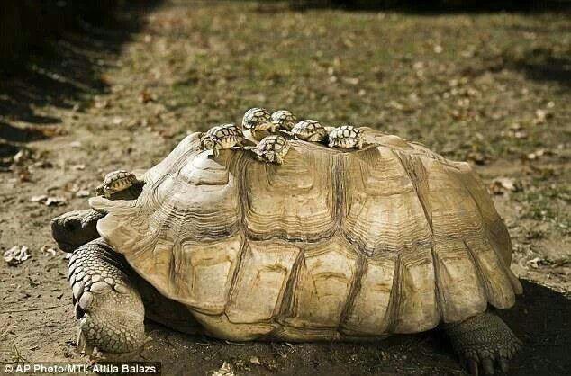 Baby tortoises riding on mamas back. Adorable!