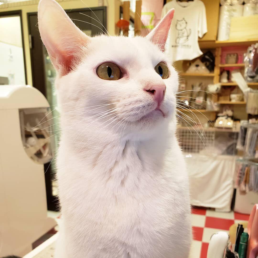 おら白猫キリッ 白猫詐欺をするおぶっちゃん 猫 猫カフェ 猫まるカフェ 猫まるカフェ上野 上野 保護猫 にゃんスタグラム ネコスタグラム 猫部 ねこら部 Cat Catcafe Tokyo U Cats Animals