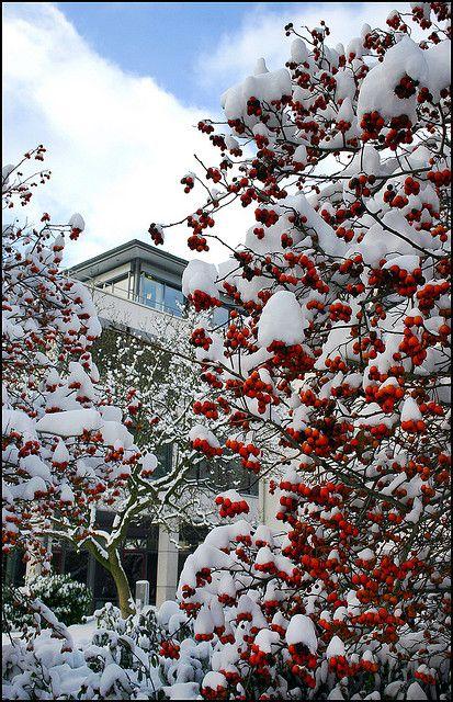 Kreuzdorn vor der Bürgschaftsbank | fruits of Crataegus, surviving from frost and snow !!! Flickr - Photo Sharing!