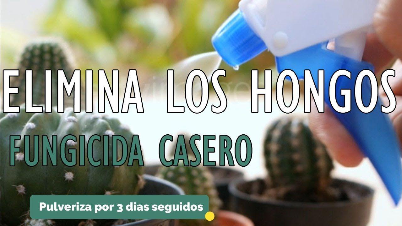 Elimina Y Controla Los Hongos De Tus Plantas Fungicida Casero Para Cactus Y Suculentas Youtube En 2021 Cactus Y Suculentas Insecticida Casero Hongos
