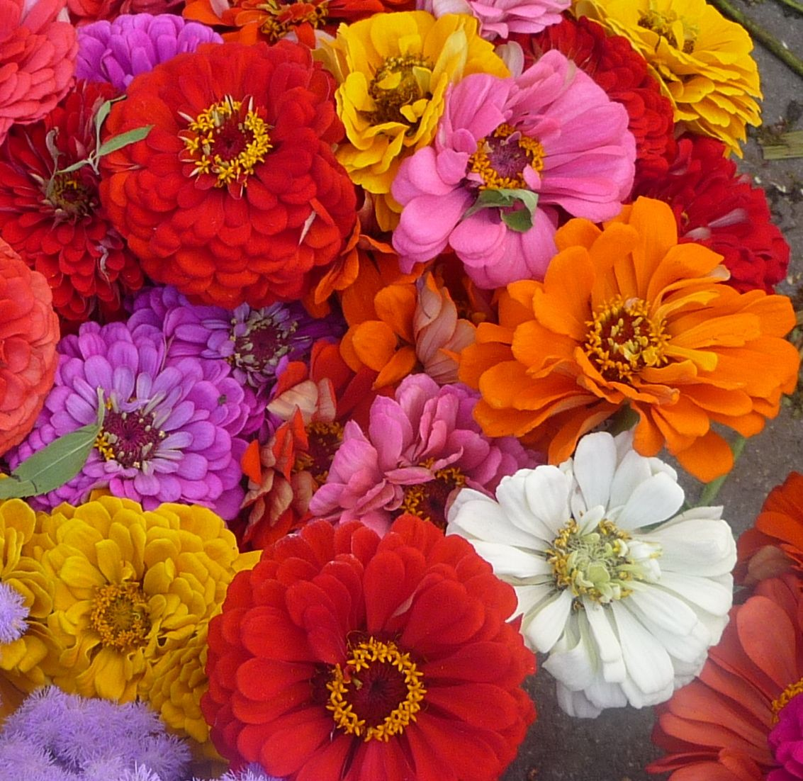 Zinnias Zinnias, Love flowers, Flowers