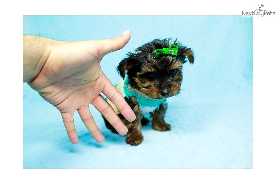 I am a cute yorkshire terrier yorkie puppy looking for