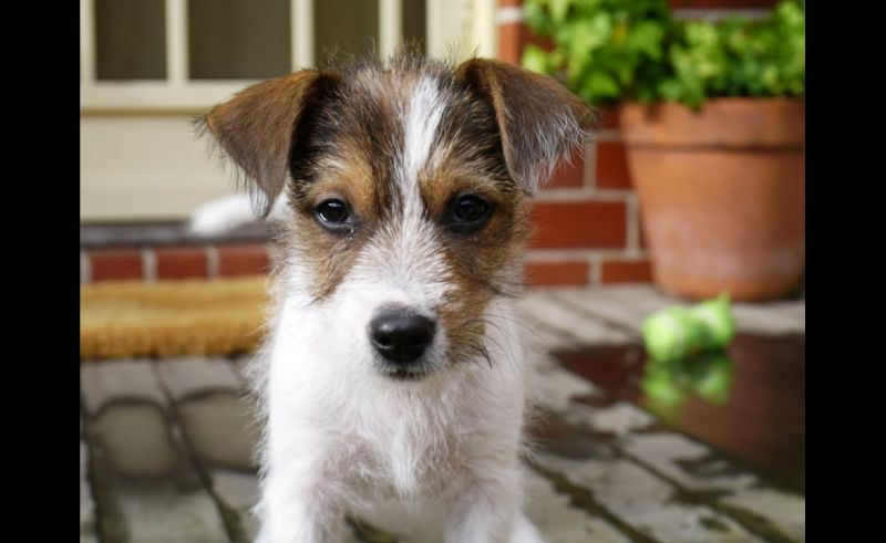 Cute Parson Jack Russell Puppy Youtube In Long Hair Jack