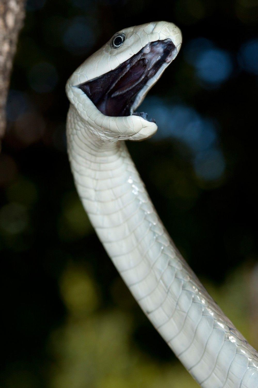 Мамба бел
