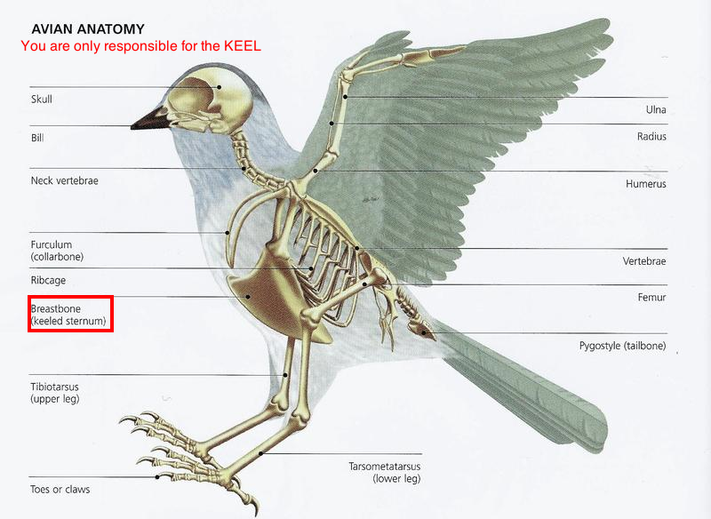 Pin by Jessica Theunissen on Bird Anatomy | Pinterest | Bird ...