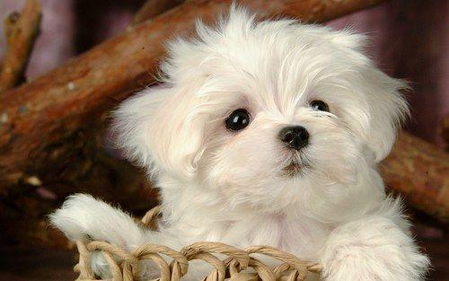 Maltese Dog Cute Puppy Wallpaper Cute Animals Baby Dogs