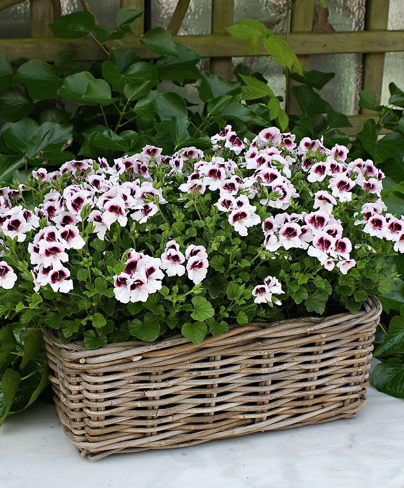 duftende wei violette geranie 39 mosquitaway lizzy. Black Bedroom Furniture Sets. Home Design Ideas
