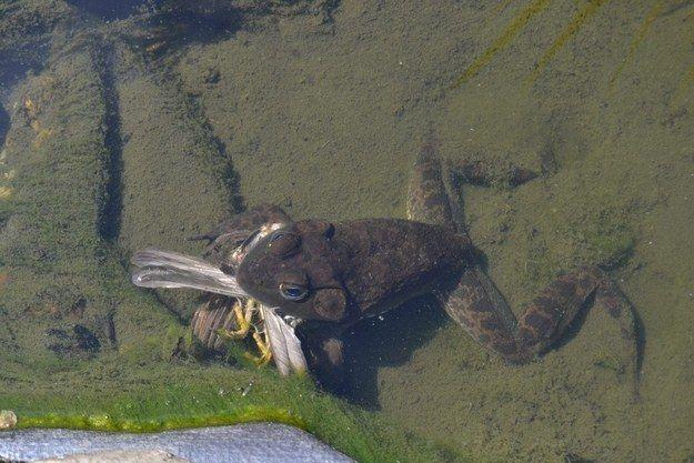 13. Esta rana toro incluso come pájaros.