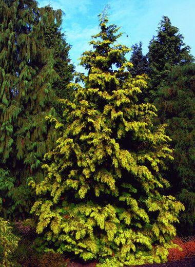 Thuja Plicata Zebrina Extra Gold Golden Western Red Cedar Thuja Plicata Fairy Garden Plants Western Red Cedar
