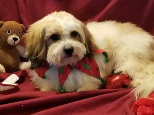 Donavan Is An Adoptable Dog Shih Tzu Havanese Mix Searching For A Forever Family At The Dog Spot Rescue Vacaville Ca Being Fo Dog Adoption Dogs Rehoming