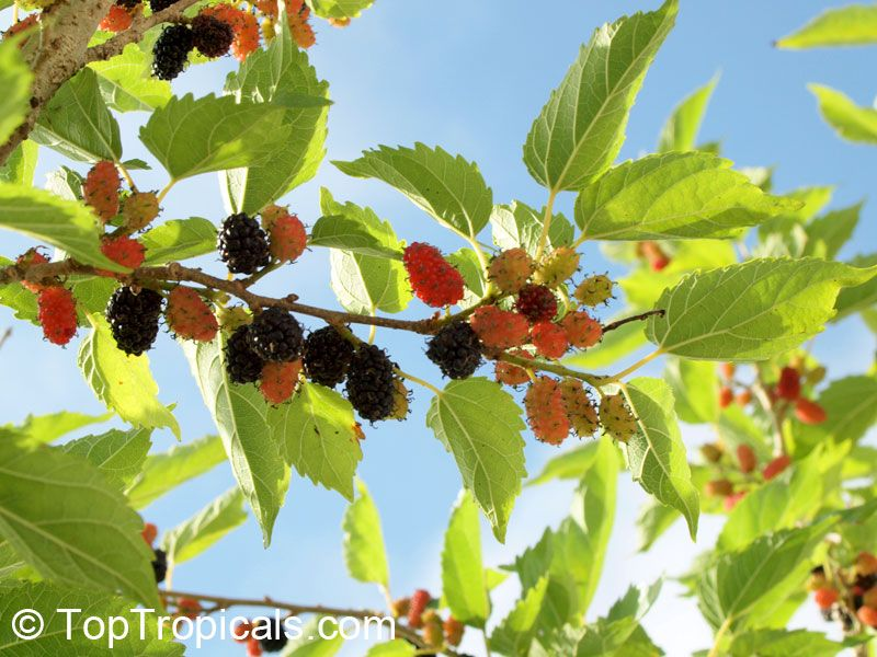 Dwarf everbearing mulberry dwarf everbearing mulberry a beautiful dwarf everbearing mulberry tree can be maintained ft tall sciox Image collections