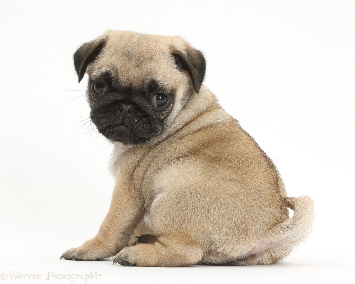 Images Of Puppies Yahoo Image Search Results Pug Dog Pug