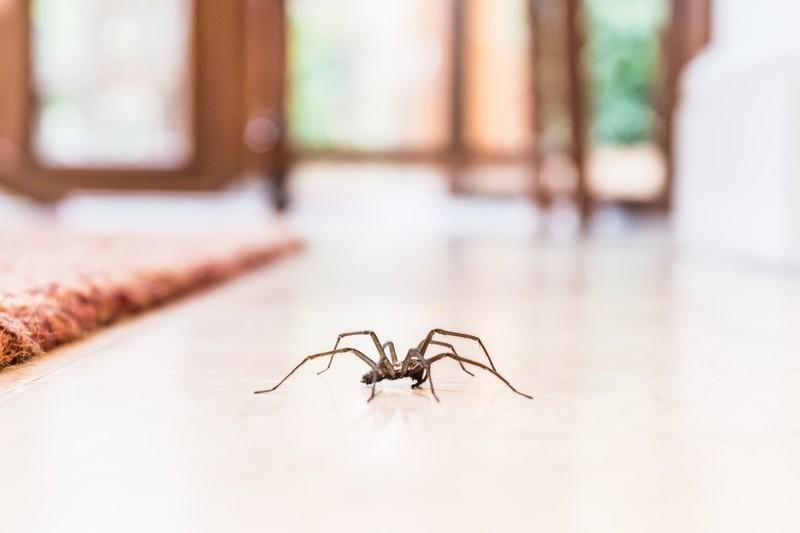 8 Remedes Anti Araignees A La Maison Araignee Maison Araignee Domestique Araignee