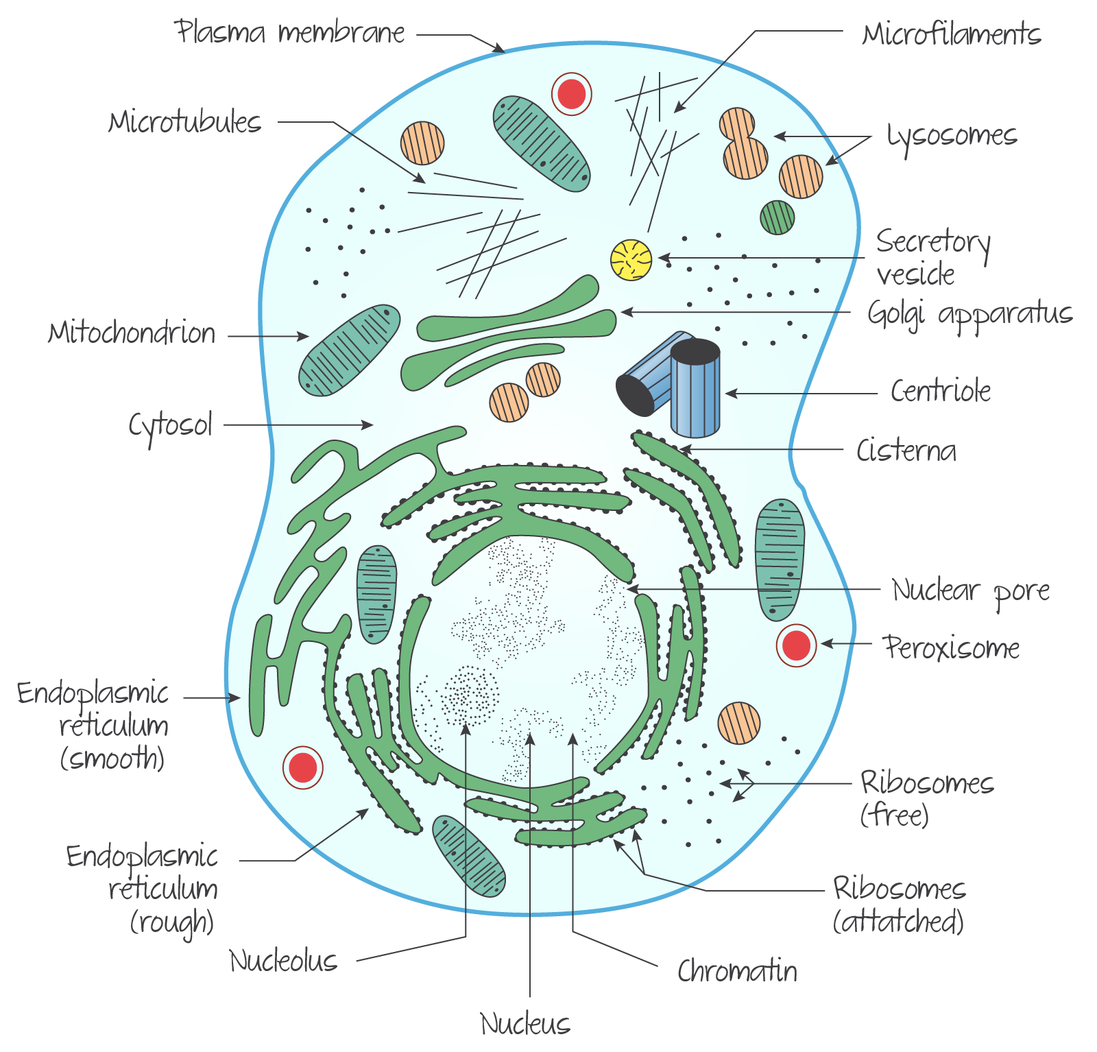 Ultrastructure Of A Eukaryotic Cell An Animal Cell การศ กษา