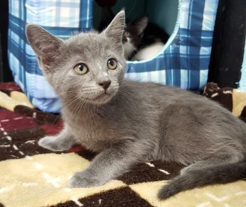 Meet Dijon 22674 A Petfinder Adoptable Russian Blue Cat Prattville Al Dijon Is A Russian Blue Mix 10 Week Old Male Russian Blue Cat Adoption Saving Cat