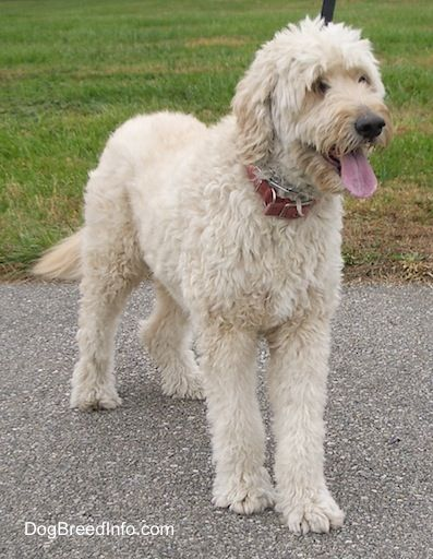 Goldendoodle Goldendoodle Golden Retriever Poodle Hybrid