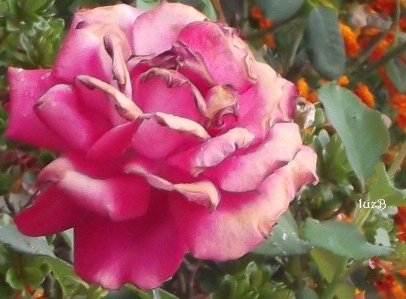 Toda a beleza fenece...  ...mas a beleza das rosas, essa não.