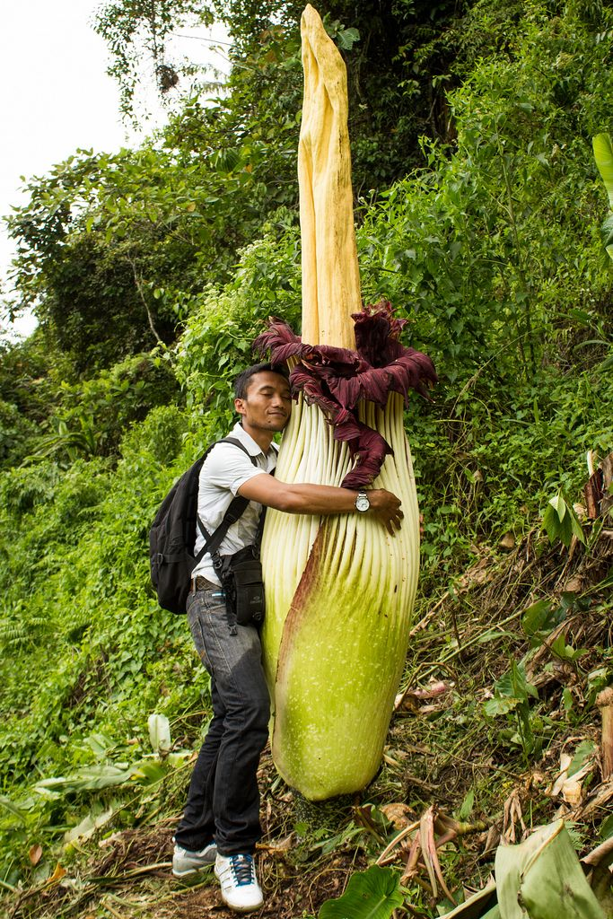 About The Blooming Of The Corpse Flower Titan Arum Corpse Flower Titan Arum Corpse Flower Bloom