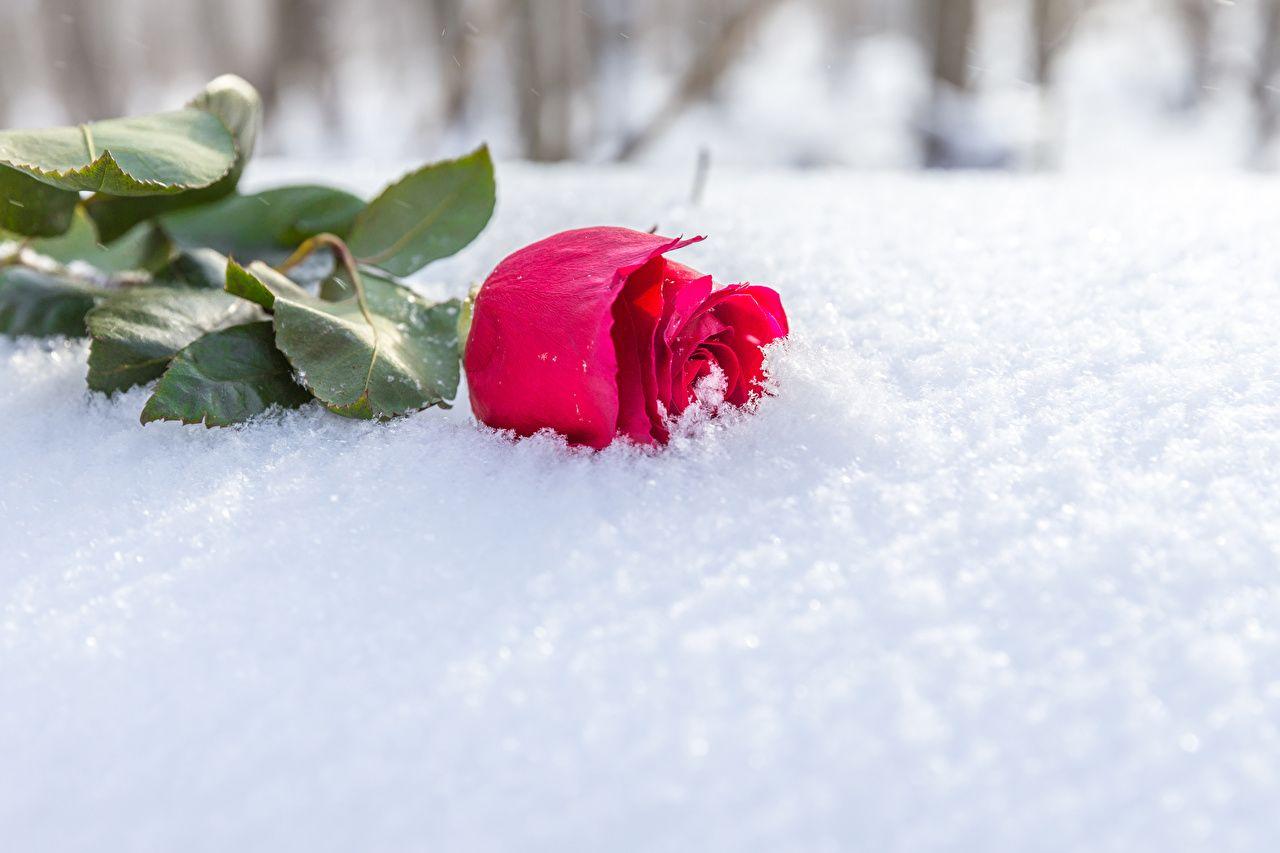 Цветы на снегу картинки с подписями, картинки белый