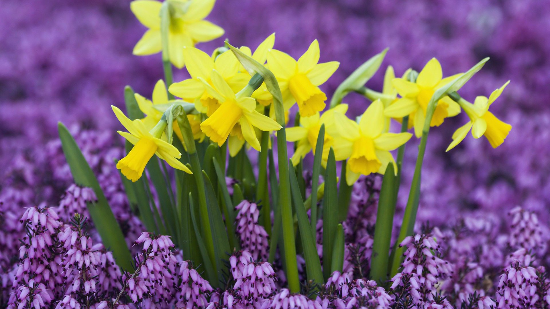 daffodils - wallpaper #32176 | plants | pinterest | daffodils, yard