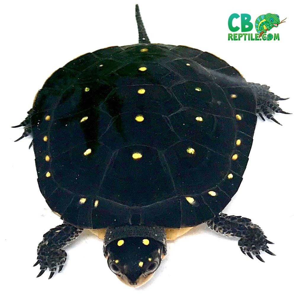 Spotted Turtle Spotted Turtle Turtles For Sale Turtle