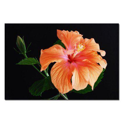 Trademark Fine Art Peach Hibiscus on Black by Kurt Shaffer Canvas Wall Art, 22x32-Inch