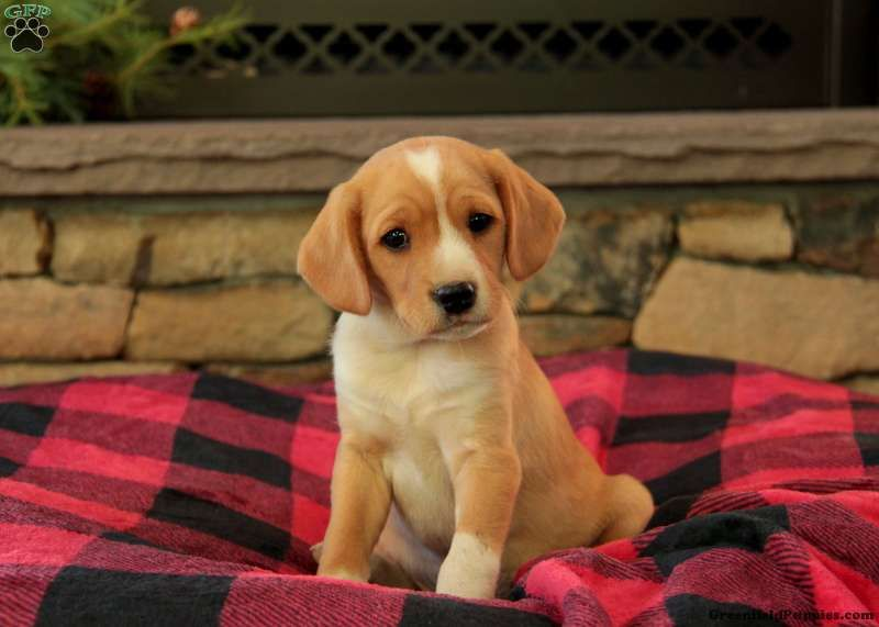 Monroe Cavalier King Charles Mix Puppy For Sale In Pennsylvania