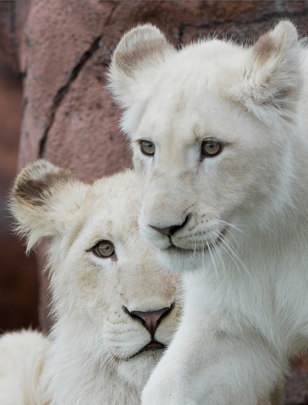 See the white lions at the Toronto Zoo.