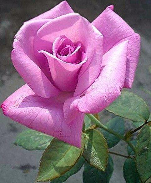 장미 in 2020   Rose reference, Rose flower, Beautiful roses