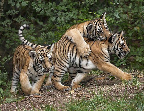 Playtime (by San Diego Zoo Global) tigrillos jugando con mamá