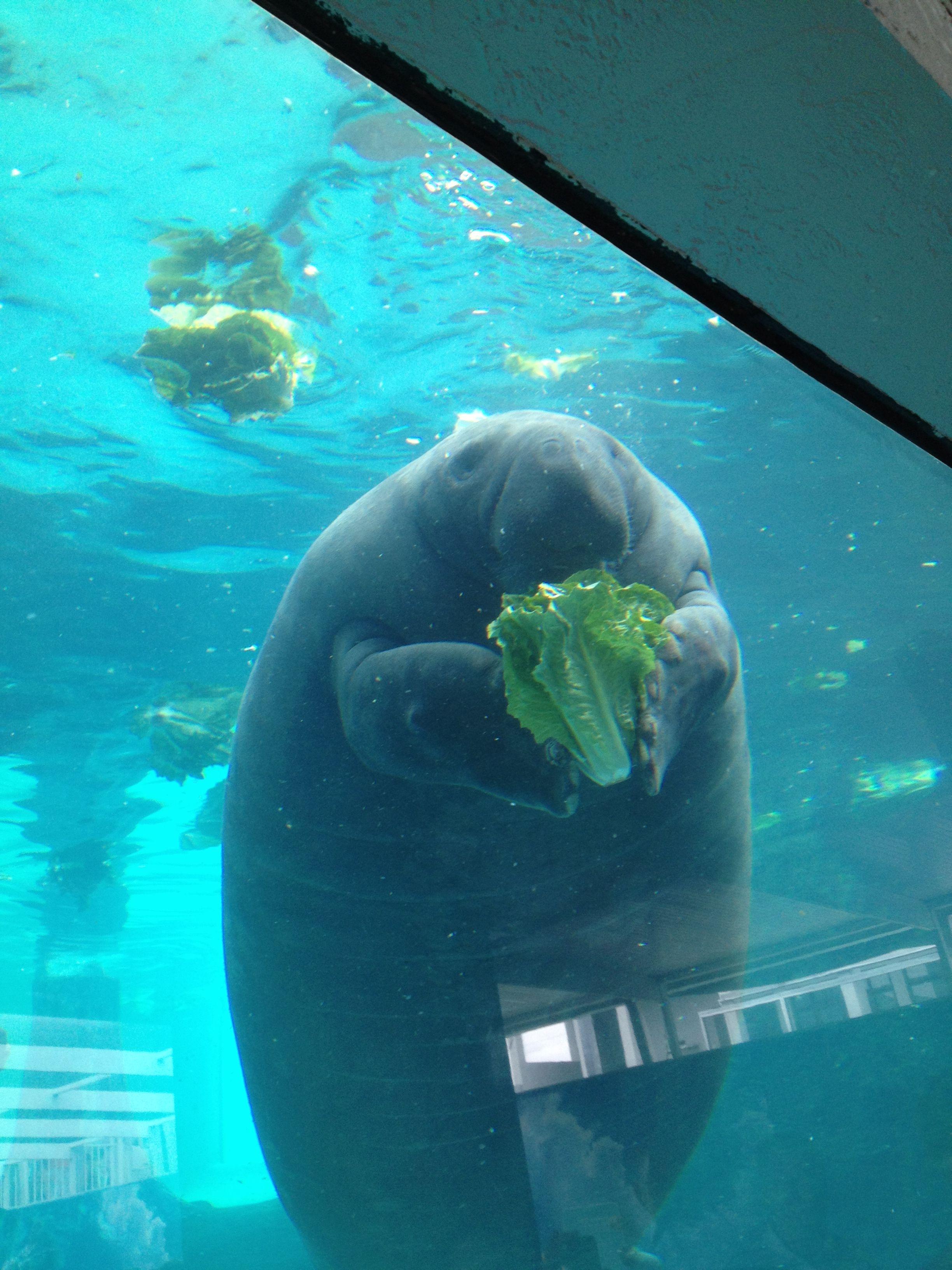 mote aquarium manatee eating a whole dang thing of lettuce
