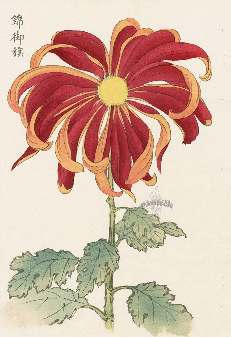 Chrysanthemum Flowers by Keika Hasegawa chrysanthemum