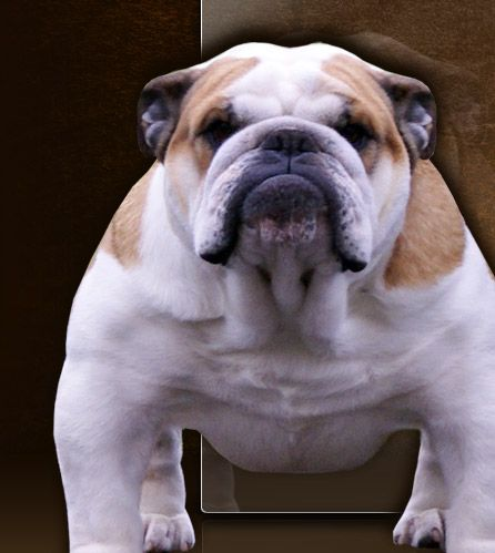 Images Of Bull Dogs Welcome To Unstopabull Show Bulldogs