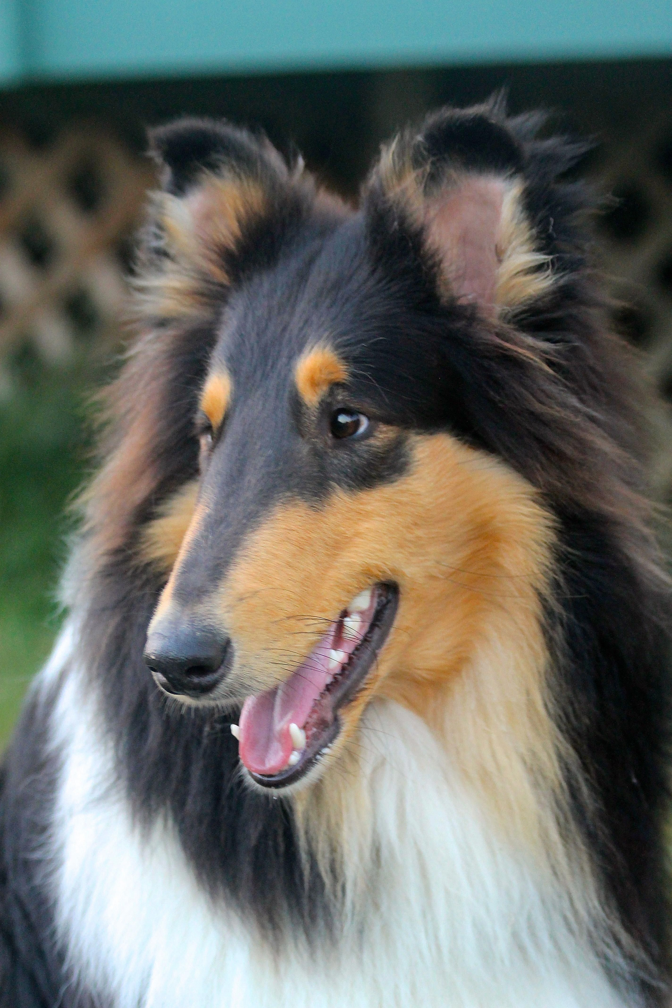 Shetland Sheepdog Energetic And Playful Rough Collie Sheltie Dogs Collie Puppies