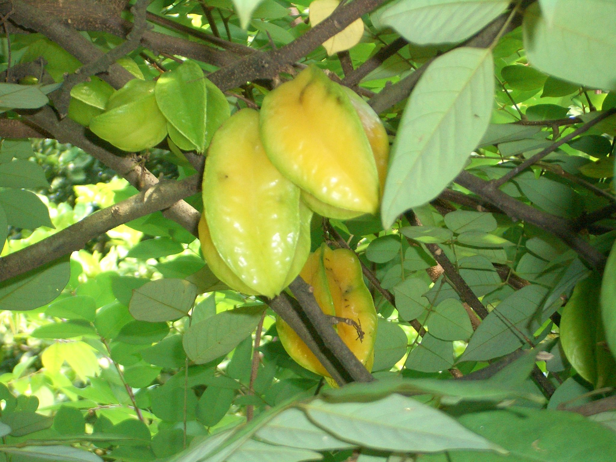 Free Plant Identification Fruit Trees For