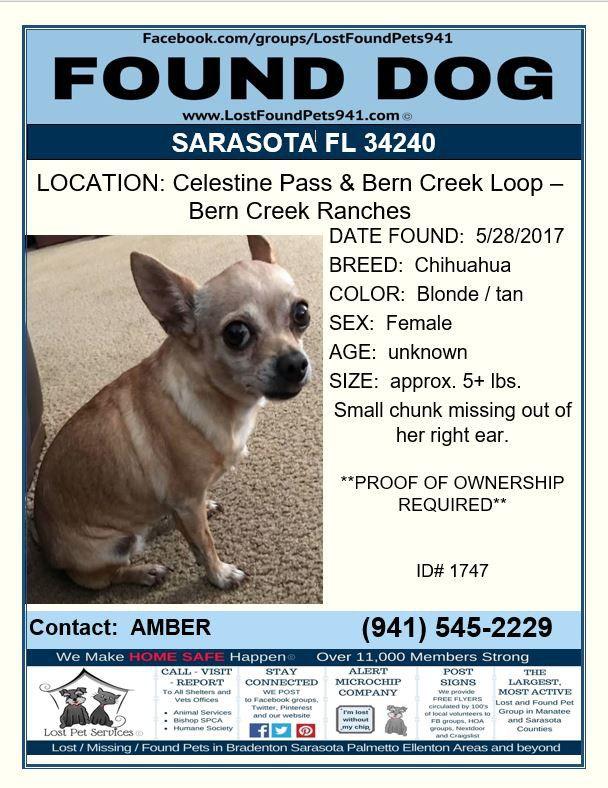Do You Know Me Founddog Lost Dog Chihuahua Sarasota Fl Sarasotacounty 34240 Lostfoundpets941 Losing A Pet