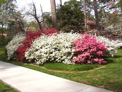 plant azalea bushes nature