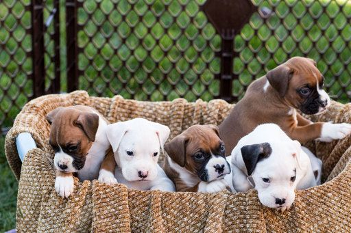 Litter Of 6 Boxer Puppies For Sale In Winchester Ca Adn 23078 On Puppyfinder Com Gender Male S And Female S Boxer Puppies Puppies Boxer Puppies For Sale