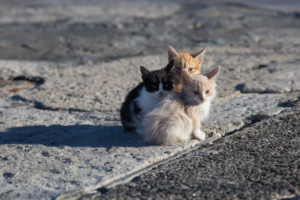 Leaving San Francisco S Feral Cats And Their Kittens To The Raccoons And Coyotes Is Not The Solution Feral Cats Cats Kittens