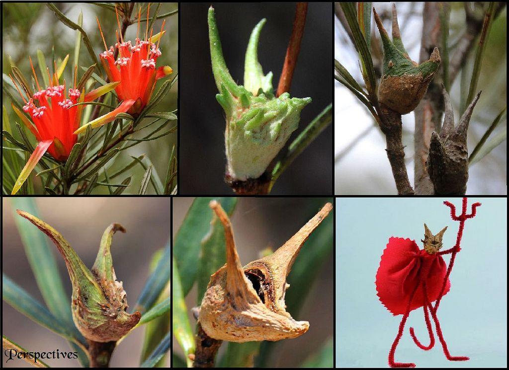 Mountain Devils Australian Plants Red Flowers Macrame Plant Hanger