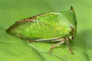 buffalo treehopper - Bing images