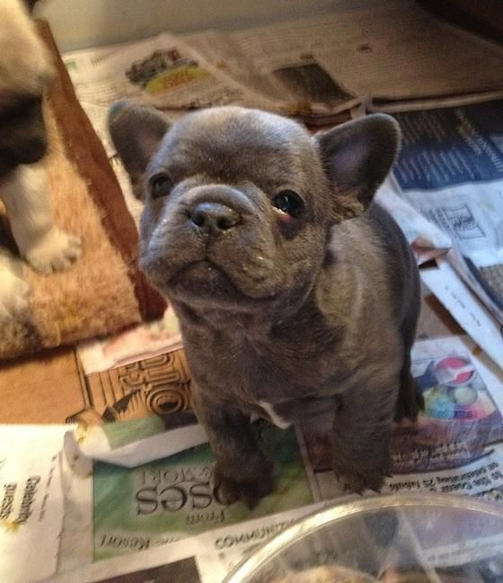 Quality French Bulldog Puppies For Sale Located Darby Montana