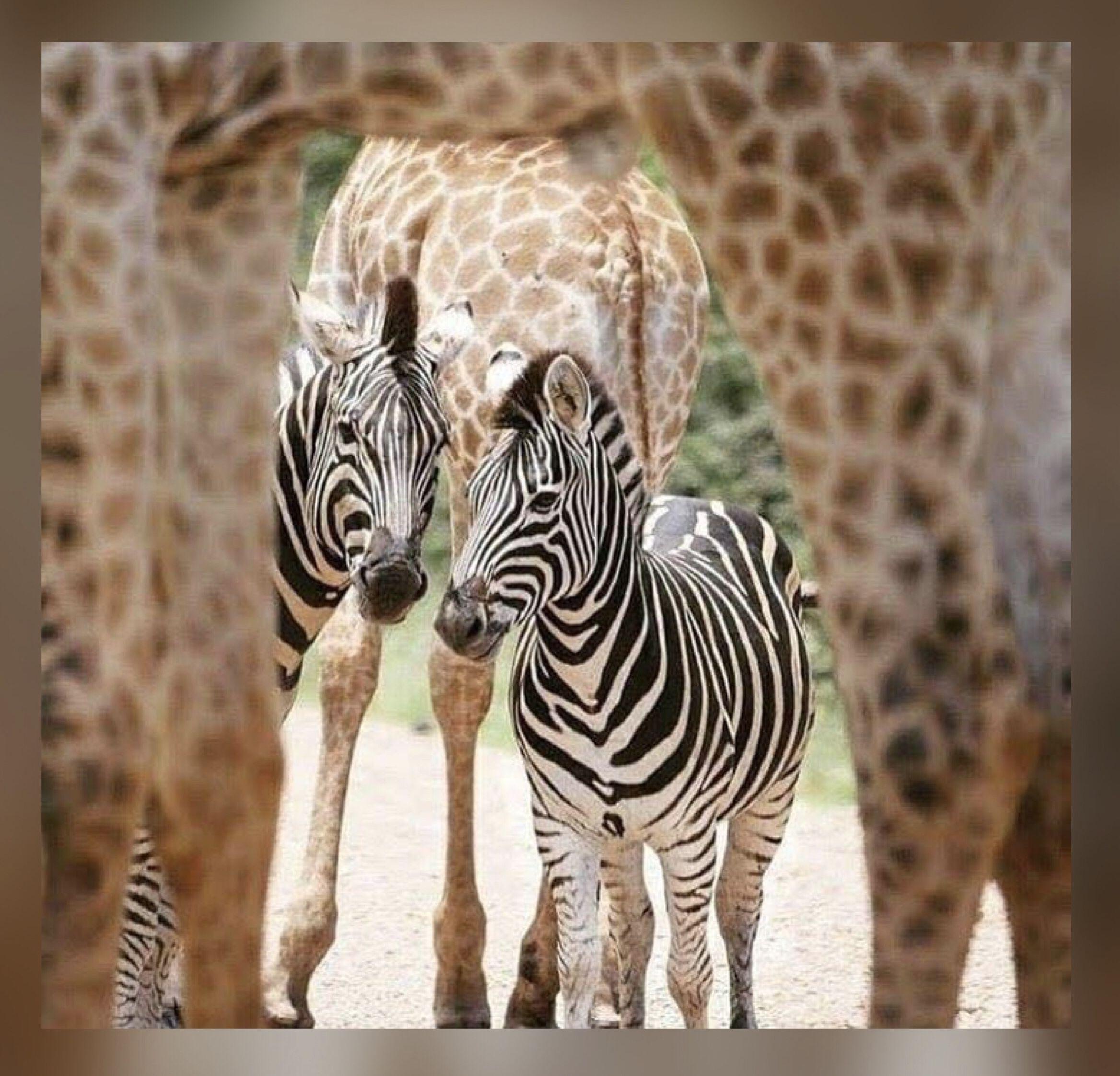 Жираф лев и зебра картинки