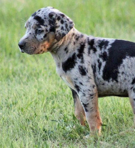 I want you in my life Catahoula Leopard pup!