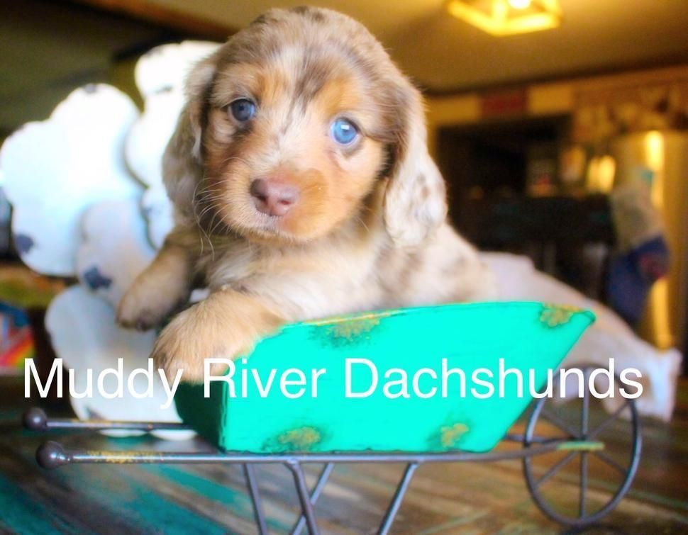 Akc And Ckc Registered Dachshunds Breeding 170 Miles East Of Dallas Fort Worth 220 Miles Northea In 2020 Daschund Puppies Dachshund Puppies Dachshund Puppies For Sale