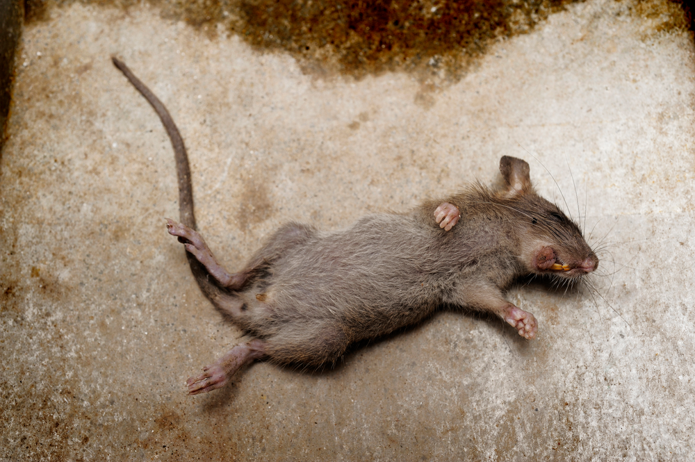 How To Get Dead Mouse Smell Out Of Clothes