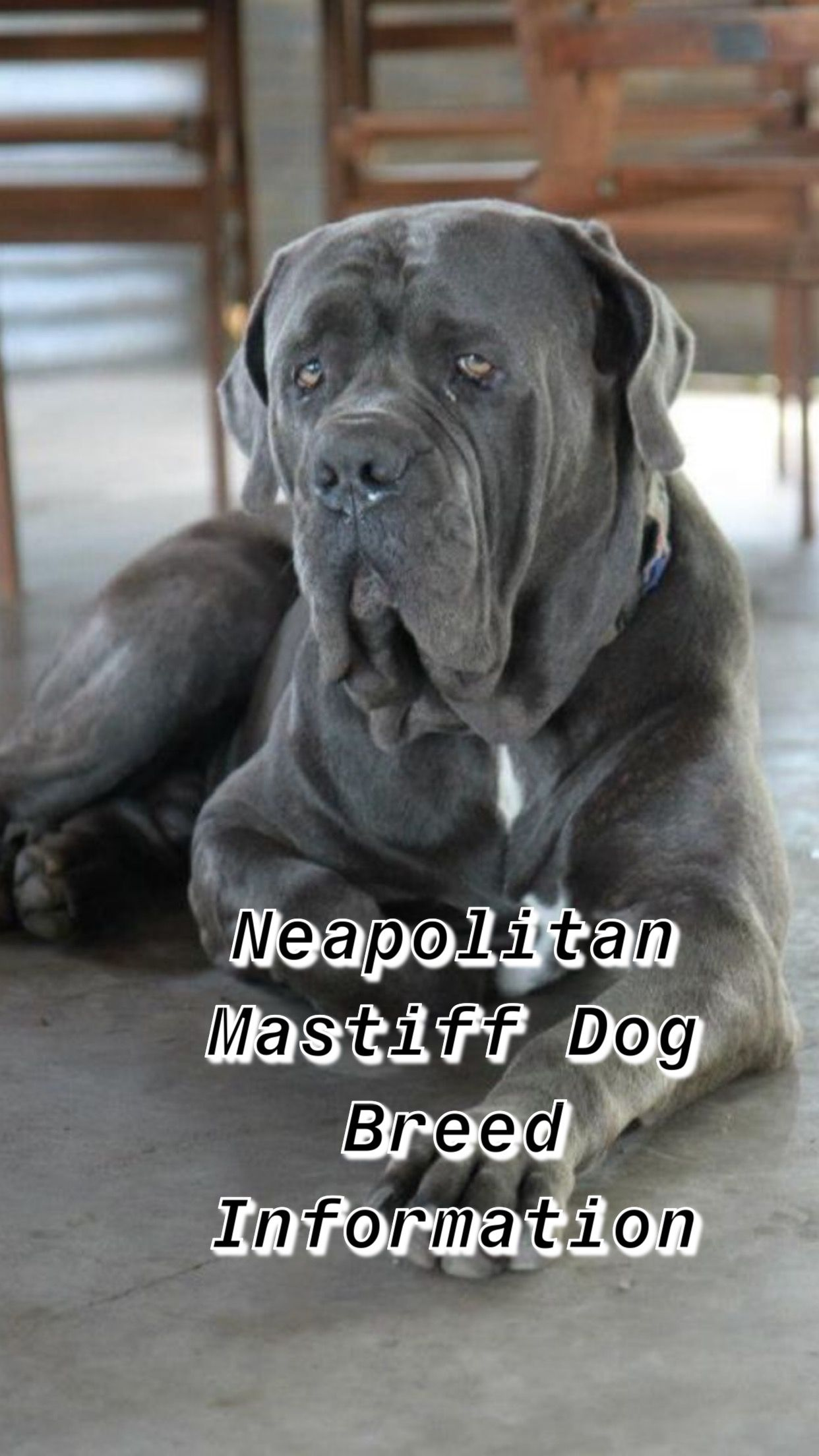 Neapolitan Mastiff Breed Information With Images Neapolitan