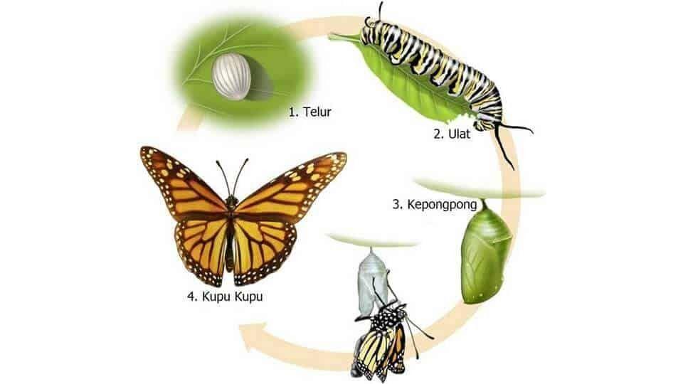 Contoh Gambar Hewan Yang Mengalami Metamorfosis Tidak Sempurna Contoh Metamorfosis Sempurna Dan Tidak Sempurna Pembelajar Net Butterfly Simple Sentences